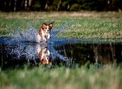 Water Kooiker (charley496) Tags: dog motion green wet water field animal mammal blu meadow canine running run fields splash doggie pedigree kooiker kooikerhondje purebreed nikon nikkor d850 afs200500mm