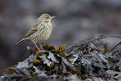 Rock pipit (Matt Hazleton) Tags: bird animal nature outdoor canon canoneos7dmk2 canon500mm eos 7dmk2 500mm matthazleton matthazphoto cornwall falmouth rock rockpipit seaweed coast shore wildlife anthuspetrosus