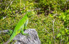 Guadeloupe - Jeune Iguane (François Leroy) Tags: françoisleroy france antilles guadeloupe petiteterre ile océan mer iguane vert faune terredebas terredehaut vegetal