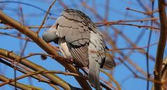 Wood Pigeon (Columba palumbus) (Nick Dobbs) Tags: wood pigeon columba palumbus columbidae bird dorset woodland garden