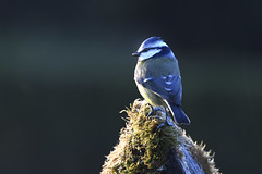 Mésange bleue (eric.courant) Tags: mésange bleue oiseau oiseaux birds bird mayenne photo animalière d850 nikon 200 500