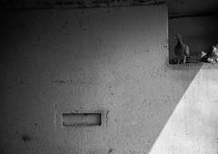 coo coo ka choo (Mano Green) Tags: pigeon pigeons bird birds light shadow angle wall bridge canal water waterways boating boats cheshire england uk april spring 2017 lomo lca ilford hp5 35mm film ilfosol s epson perfection v550 black white monochrome