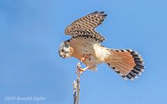 American Kestrel IMG_0976 (ronzigler) Tags: american kestrel falcon raptor bird birdwatcher nature avian sigma 150600mm canon 60d falco sparverius