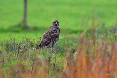Photo of Buzzard - Braunton Marsh 28-11-2019 15-21-00