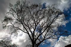 Tree silhouette Blue Sky Clouds (jrpopfan) Tags: dry grunge plant plants nature environment branch mood moody summer background environmental clouds dying trees blue belize silhouette tree outdoors dark detail dead sky death black branches mystery white