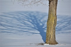 A Deconstructed Tree (M Lauer) Tags: tree snow winter reflection shadow backyard
