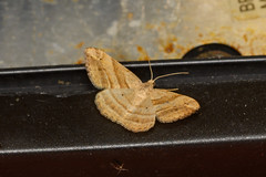 Geometer moth (chlorophonia) Tags: lepidoptera animals geometridae insecta arthropoda invertebrates moths animalia geometridmoths insects kavangoregion namibia