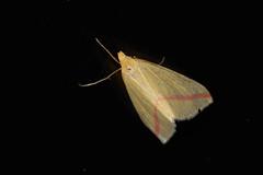 Vestal (chlorophonia) Tags: vestal lepidoptera animals geometridae insecta arthropoda invertebrates moths animalia geometridmoths insects rhodometrasacraria kavangoregion namibia