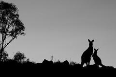 21 January 2020 Kangaroo Sunset (david_john_lee) Tags: kangaroo sunset silhouette bush canberra australia
