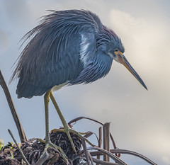Sullen Tri (SDRPhoto321) Tags: tricoloredheron florida bird heron green night flower sky beach sunset vowel bar design home shop coth5 natural lily white great gatorland art animal birds birding black bright beak canon color cloud dof depth expression eye elevated eyes exposure feathers wetlands intercoastal light lands line lamp mighty nature national neck nesting outdoor odd perspective painting reflection run sunny sun sunrise tree trees wet water people