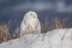 Harfang des Neiges -Snow Owl (claudefortin.cf) Tags: aves birds buboscandiacus harfangdesneiges snowyowl strigidae strigidés strigiformes oiseaux