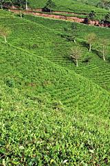 Tea plantation in Java, Indoesia (Tiket2) Tags: asia asiatravel indonesia travel travelpic travelphoto indonesian amazing stunning tiket2 creativecommons free freephoto attribution tourism tourist exotic tropical tea teaplantation plantation green greenery java bandung javanese