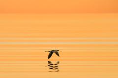 Fine Line (gseloff) Tags: americanavocet bird flight bif skimming sunrise water reflection gulfofmexico ocean surf nature wildlife bolivarflats bolivarpeninsula galvestoncounty texas gseloff