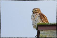 Juvenile red shouldered hawk (RKop) Tags: fernaldpreserve ohio raphaelkopanphotography 600mmf4evr 14xtciii nikon d500