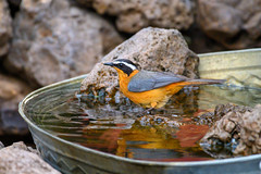 White-browed Robin-Chat (chlorophonia) Tags: birds animals vertebrates muscicapidae whitebrowedrobinchat animalia cossyphaheuglini oldworldflycatchers kavangoregion namibia