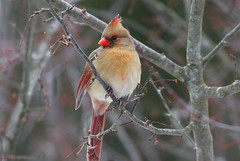 On A Cold Day (Diane Marshman) Tags: female adult northern cardinal red orange white tan feathers bird tree branch crabapple winter pa pennsylvania nature wildlife