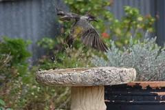 Wattle bird (susanpride49) Tags: wildlife bird
