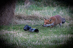 Thief (beverleythain) Tags: springwatch fox red orphaned cub bush tail fur animal wildlife nature independent beautiful vixen black paws thief photographer close shave