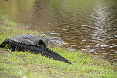 Gator (ap0013) Tags: alligator gator gators alligators myakka river state park sarasota florida sarasotaflorida deephole statepark myakkariver nature wildlife animal