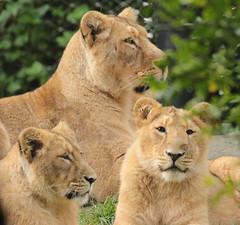 asiatic lion Blijdorp BB2A0762 (j.a.kok) Tags: animal asia azie asiaticlion aziatischeleeuw mammal zoogdier dier predator cat kat leeuw lion pantheraleopersica blijdorp