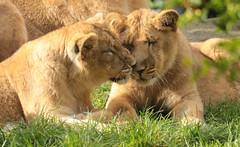 asiatic lion Blijdorp BB2A0801 (j.a.kok) Tags: animal asia azie asiaticlion aziatischeleeuw mammal zoogdier dier predator cat kat leeuw lion pantheraleopersica blijdorp specanimal