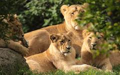asiatic lion Blijdorp BB2A0883 (j.a.kok) Tags: animal asia azie asiaticlion aziatischeleeuw mammal zoogdier dier predator cat kat leeuw lion pantheraleopersica blijdorp