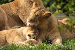 asiatic lion Blijdorp BB2A0817 (j.a.kok) Tags: animal asia azie asiaticlion aziatischeleeuw mammal zoogdier dier predator cat kat leeuw lion pantheraleopersica blijdorp