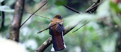 Red-headed trogon (khoitran1957) Tags: bird wildlife wallpaper ultrawide widescreen wide nature travel 219