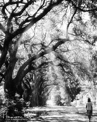 Live Oaks (magnetic_red) Tags: trees liveoaks canopy large deepsouth alabama road path walkway woman lady walking blackandwhite