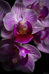 In Full Bloom. (josephzmuda2) Tags: closeup tropical exotic nature color macro floral fineart stilllife pennsylvania pittsburgh botanical plants flowers orchids
