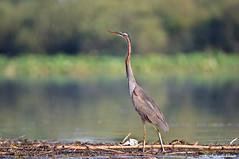 Airone rosso _016 (Rolando CRINITI) Tags: airone aironerosso uccelli uccello birds ornitologia avifauna curatore mincio natura