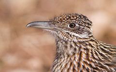 Greater Roadrunner (eBird.org) Tags: ebird front page birds nam north central america road runner macaulay library flickr community science conservation cornell lab ornithology