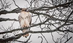 Winter Hawk (RWGrennan) Tags: hawk winter snow tree outdoors new lebanon york ny nys upstate nature photo wild wildlife tamron 150600 nikon d610 rwgrennan rgrennan ryan grennan cold