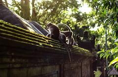 Monkey Forest in Ubud, Bali (Tiket2) Tags: asia asiatravel indonesia travel travelpic travelphoto indonesian amazing stunning tiket2 creativecommons free freephoto attribution tourism tourist exotic tropical ubud bali monkey monkeyforest balinese animal