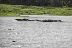 Gator Habitat (ap0013) Tags: alligator gator gators alligators myakka river state park sarasota florida sarasotaflorida deephole statepark myakkariver nature wildlife animal
