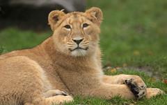 asiatic lion Blijdorp BB2A0103 (j.a.kok) Tags: animal asia azie asiaticlion aziatischeleeuw mammal zoogdier dier predator cat kat leeuw lion pantheraleopersica blijdorp