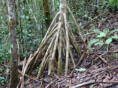 Standing Roots (mikecogh) Tags: colisuva fiji forest roots standing strong thick ferns leaves