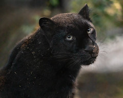 The Turn, The Look (Penny Hyde) Tags: amurleopard bigcat blackleopard blackpanther leopard melanisticleopard sandiegozoo