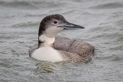 Common Loon (tresed47) Tags: 2020 202001jan 20200116indianriverbirds birds canon7dmkii commonloon content delaware folder indianriverinlet january loon peterscamera petersphotos places season takenby us winter