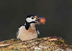 Pic épeiche (Guillaume Dardant) Tags: nature sauvage oiseaux bird picidés forêt bois loiret d850 500mmf4 nikon picépeiche piciformes dendrocoposmajor affût portrait