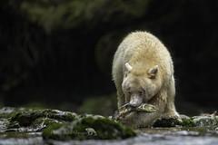 Good Catch (PamsWildImages) Tags: spiritbear kermodebear nature naturephotographer wildlife wildlifephotographer greatbearrainforest pamswildimages salmon britishcolumbia canon