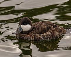 Ruddy Duck Male (Stephen G Nelson) Tags: bird duck pond park tucson arizona