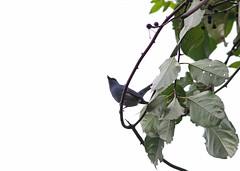 Pale-Blue Flycatcher, Mishmi Hills, Arunachal Pradesh, India, April 2013 (Sterna999) Tags: mishmihills india bird nature wildlife hills indien vogel arunachalpradesh paleblueflycatcher