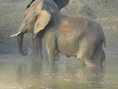 Scathed for life...young elephant mum with her baby ( jong olifant met haar kalfie, duidelike letsels sigbaar ) (Pixi2011) Tags: elephants krugernationalpark southafrica africa wildlifeafrica big5 wildlife wildanimals animals nature