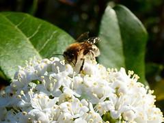 P1020712 (Cassiopée2010) Tags: cévennes nature insecte abeille fleur