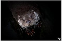 give me fish (Johannes Haupt) Tags: otter water portrait predator animal wild nature fischotter wasser raubtier tier natur