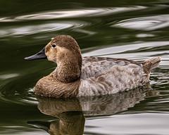 Canvasback duck (Stephen G Nelson) Tags: bird duck pond aquatic park tucson arizona