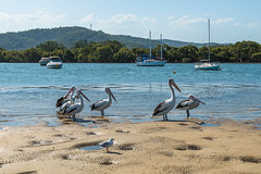Pelicans and Seagull by the bay (Merrillie) Tags: woywoy landscape gull nature australia birds boats newsouthwales animal seagull nsw afternoonlight pelican wildlife waterscape lateafternoon bay bird afternoon outdoors animals fauna centralcoast coastal water