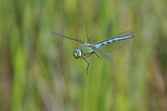 Emperor dragonfly (KHR Images) Tags: emperor dragonfly anaximperator flying inflight hawking mature male llangloffanfen pembrokeshire wales wildlife nature nikon d500 kevinrobson khrimages