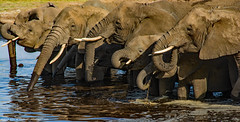 2017.06.23.3084 Watering Time (Brunswick Forge) Tags: 2017 grouped tanzania africa serengeti serengetinationalpark outdoor outdoors animal animals animalportraits wildlife nature summer winter inmotion day sunny clear sky air nikond7100 nikkor18200mm elephant water lake river safari
